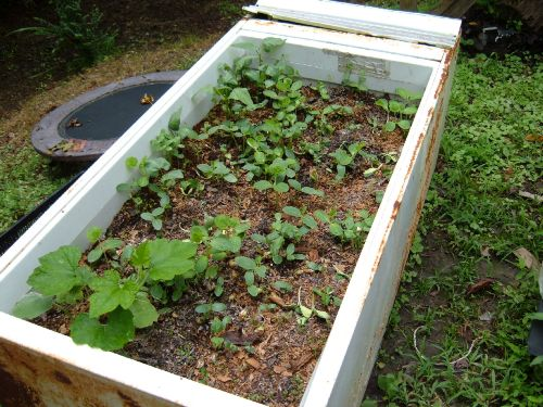 The captain 39 s compost tea - Lasagna gardening in containers ...